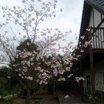 Our humble cherry tree in bloom