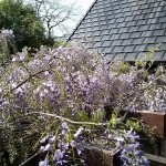 Our wisteria starting to bloom, about 6 weeks early.